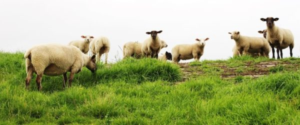 sheep-pet-livestock-lamb-farm-wallpaper-preview
