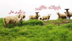 sheep-pet-livestock-lamb-farm-wallpaper-preview copy